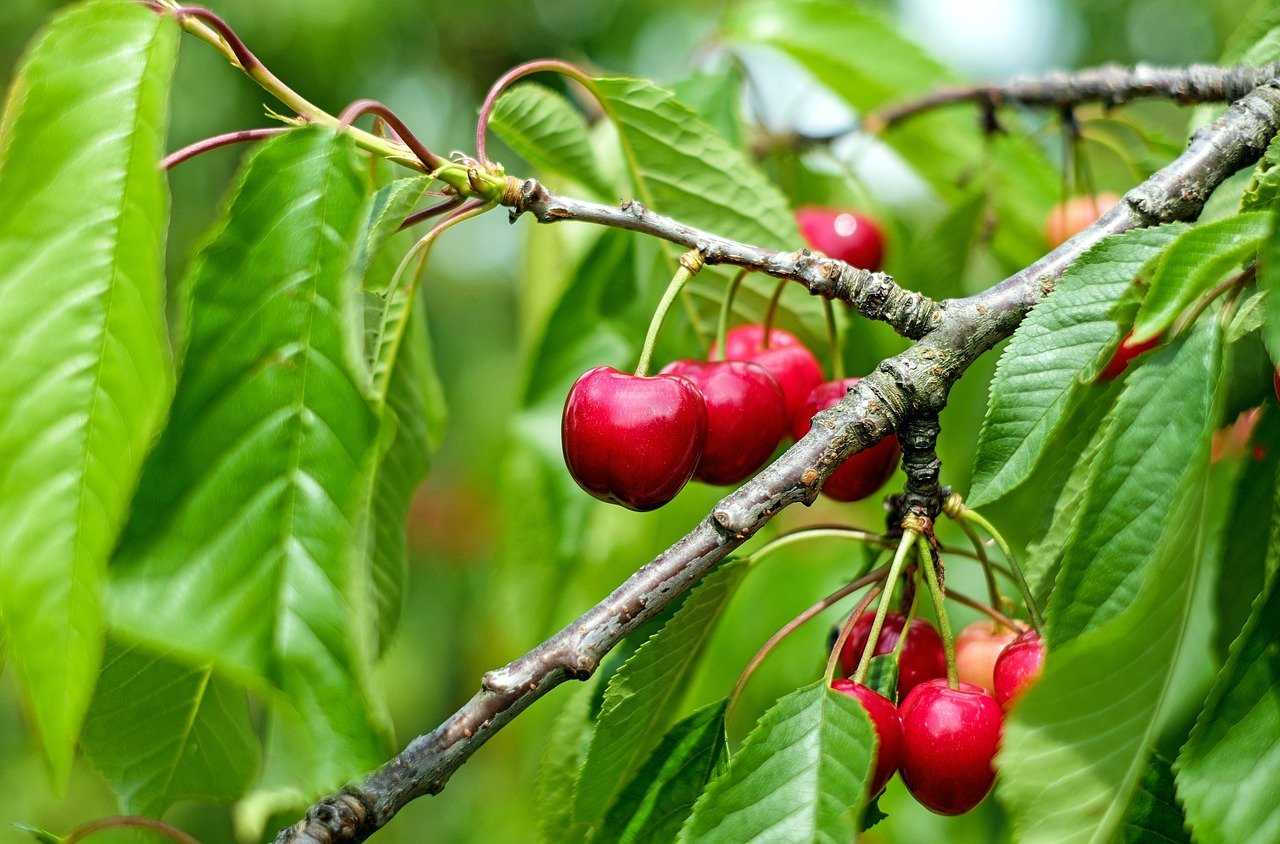 Michigan cherry farmers could lose jobs, livelihoods amid tough competition from overseas